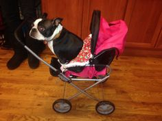 Somebody thought my lil Fiona wanted to ride in the toy stroller!! #fiona #fionatheboston #bostonterrier