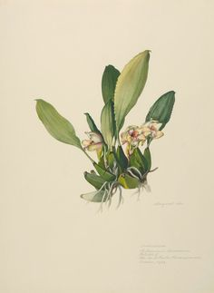Margaret Mee, 1959--Orchidaceae  Bifrenaria harrisonae (Hook.) Rchb. f.  Reichb. F  Est. do São Paulo, Paranapiacaba  October, 1959