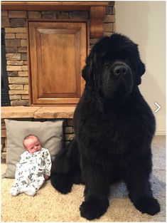 """waht-do: """"sixpenceee: """" Newfoundland dogs, known for their gentle demeanor and strong swimming ability, have webbed toes which helps their swimming. They were originally bred and used as working dogs in Newfoundland, an island in Eastern Canada. Animals And Pets, Baby Animals, Funny Animals, Cute Animals, Wild Animals, Huge Dogs, Giant Dogs, Cute Big Dogs, Fluffy Puppies"""