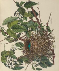 v. 1 - Illustrations of the nests and eggs of birds of Ohio : - Biodiversity Heritage Library/ Genevieve Jones