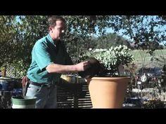 Growing Blueberries in containers Farm Gardens, Outdoor Gardens, Container Gardening, Gardening Tips, Growing Blueberries, Casas Containers, Edible Flowers, Inspirational Videos, Edible Garden