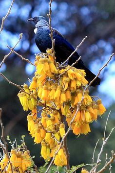 Tui in the kowhai flowers