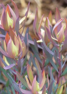 Looking for ideas for your small garden or backyard? They are ideal for pots and containers and require low maintenance.  #proteaflora #proteaceae #proteas #australianflora #homegardening #gardenideas #homegarden #australianplants #australianflowers #australianflora #gardeninspiration #leucadendron