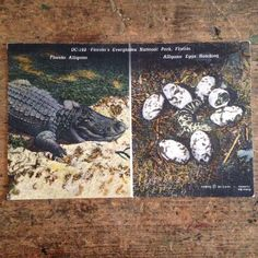 Vintage linen color postcard featuring an full grown #alligator on one side and a baby gator with hatching eggs on the other. They are shots from Florida's Everglades National Park taken by Chas. C. Ebbets.