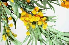 what is australian national flower - Google Search