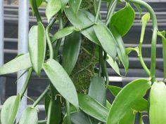 Organic Gardening Magazine Back Issues Vanilla Plant, Vanilla Orchid, Grow Vanilla Beans, Gardening Zones, Indoor Gardening, Organic Gardening Magazine, Growing Orchids, Growing Gardens, Gardens