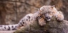 18 Pictures of Snow Leopards by Tambako the Jaguar
