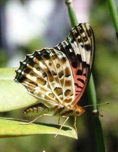 Argyreus hyperbius  ツマグロヒョウモンの♀です。