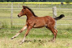 D'Jazz colt foal by ZZ TOP 2013 www.teamlacroix.com