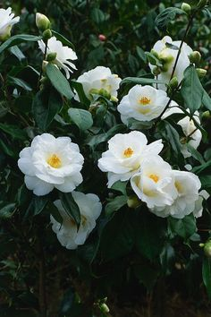 Camellia japonica 'Lovelight' camellias might not be in season in august Small White Flowers, White Wedding Flowers, Amazing Flowers, Beautiful Flowers, Camellia Japonica, Winter Plants, Anemone Flower, Moon Garden, Flowering Shrubs