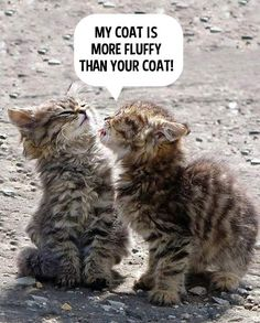 Tabby kittens compete for the best coat!