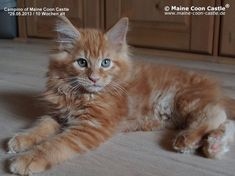 Campino of Maine Coon Castle 10 weeks old, 1710g