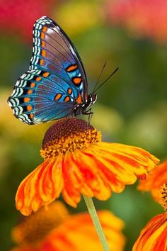 Photographic Print: Red-Spotted Purple Butterfly by Darrell Gulin : Butterfly Painting, Butterfly Wallpaper, Beautiful Creatures, Animals Beautiful, Cute Animals, Purple Butterfly, Butterfly Flowers, Fall Flowers, Beautiful Bugs