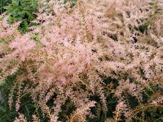 Perennials | Johnston's Evergreen Nursery