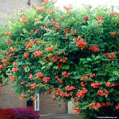 This Trumpet Vine provides rich, orange/red flowers that bloom from mid summer to late summer. Plant it in a spot where it has room to grow – it is perfect for covering arbors, fences, and walls. Flamenco's vibrant flowers will also attract hummingbirds! (Campsis radicans)