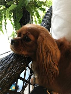 Sweet Willa Rose Cavalier King Charles, King Charles Puppy, King Charles Spaniel, Lap Dogs, Dogs And Puppies, Doggies, Animals And Pets, Cute Animals, Cute Dogs
