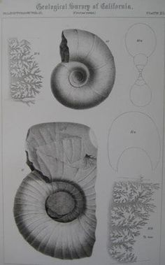 "Pl.21 Paleontology Vol. II (Cretaceous). A detailed lithographic print of fossilized shells by M. Gabb from his book ""Geological Survey of California"". This book was Published by Authority of the Legislature of California by Bowen and Co. 1864 & 1869. First Editions. Two Volumes. Vol. 1, [xx] 243 pp. Vol. 2, [xvi], 299 pp. The book featured A total of 68 engraved plates of fossils with printed tissue guards. Carboniferous and Jurassic Fossils. Triassic and Cretaceous Fossils. Overall this..."