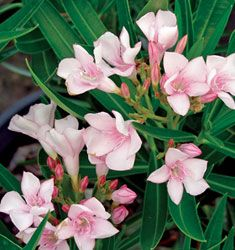 Oleander Dwarf 'Petite Pink'  4' H x 6' W Compact evergreen shrub border with clusters of soft pink blooms. Drought and salt tolerant. Poisonous. Full sun.