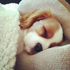 I'd definitley give my puppy some covers too! Cavalier King Charles puppy sleeping.