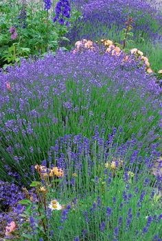 Just bought a ton of Lavendar today! Making essential oil :)