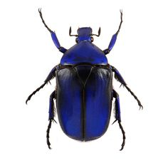 The blue flower beetle