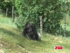 Gorillatræning 3