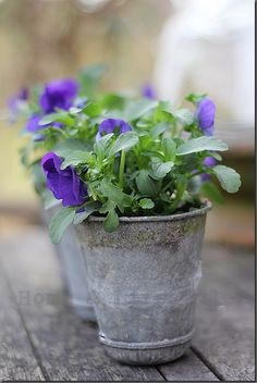 purple pansies in zinc pail Love Flowers, Spring Flowers, Beautiful Flowers, Container Plants, Container Gardening, Indoor Gardening Supplies, Deco Floral, Pansies, Garden Plants