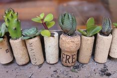 Plant your succulent clippings into the cork planters.