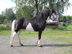 black splash white - Gotland Pony stallion Bloka Joker