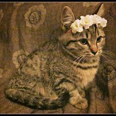 New made white kitty flower crown   Boho kitty loves it! kitty crowns newly available in my etsy  shop! link in my bio #bohokitty #boho #kitty #kitten #catlady #flowercrown #catlovers  #babyanimals #daisy #headband #cat #catsofinstagram #adorable #freespi
