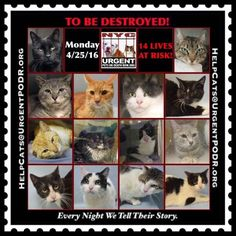 ++NY++ 14 PRECIOUS LIVES TO BE DESTROYED 04/25/16 - - Info Please Share: 14 CATS TO BE DESTROYED Please Share: - Click for info & Current Status: http://nyccats.urgentpodr.org/montage-071215/