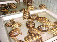 Red Foot Tortoise Babies