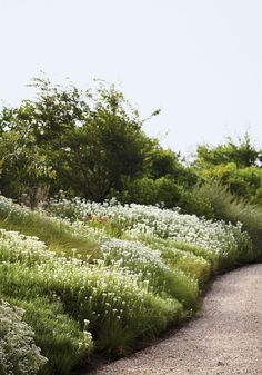 White-flowered Anaphalis margaritacea cover a bank | T Magazine