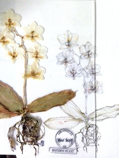 Langley Fox orchid illustration