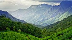 Tea fields in Munnar, Kerala, India