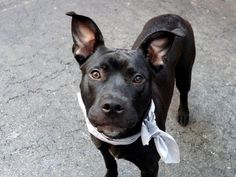 MARLEY - ID#A1006354  I am an unaltered male, black and white Pit Bull Terrier mix.  The shelter staff think I am about 1 year old.  I...