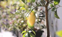 A citromfa metszése: tudod, mikor van itt az ideje? Stuffed Peppers, Fruit, Tips, Van, Get Tan, Time Out, Advice, Stuffed Pepper, Stuffed Sweet Peppers