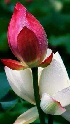 ♡ A alegria de fazer o bem é a única felicidade verdadeira.♡ ♡The joy of doing good is the only true happiness. Flower Images, Flower Photos, Flower Art, Lotus Garden, Blossom Garden, Flowers Nature, Red Flowers, Lotus Flower Wallpaper, Pink Lotus
