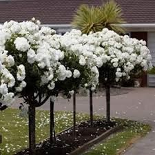 Potager Garden One DOZEN WHITE ROSE TREE seeds - 12 quality, fresh seeds. Start these beauties inside for a lovely tree next Spring. Tree is happy inside or outside! Very fragrant! Potager Garden, Garden Landscaping, Landscaping Design, Beautiful Gardens, Beautiful Flowers, Standard Roses, Garden Express, Topiary Garden, Landscaping