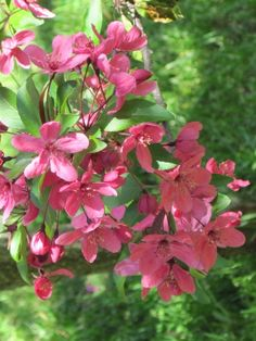 spring morning pink blossoms of the Japanese prairiefire crabapple tree in my NH zone 5 garden Zone 5, Pink Blossom, Ponds, Blossoms, Perennials, Garden Ideas, Deck, Gardens, Japanese
