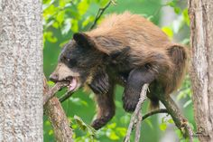 Black Bear Cub Chewing on a Branch Grizzly Bear Cub, Bear Cubs, Polar Bear, Bears, Spectacled Bear, Black Bear Cub, Sloth Bear, Brown Bear, Mammals