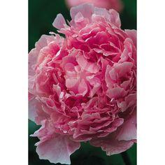 Peony 'Monsieur Jules Elie'  https://www.sarahraven.com/flowers/plants/peonies/peony_monsieur_jules_elie.htm