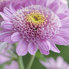 Chrysanthemum is a very cooling flower, and good for cooling all three of the doshas, Pitta, Vata, and Kapha in Ayurvedic medicine.