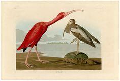 """""""Scarlet Ibis (Plate #397),"""" by John James Audubon (1827-1838) — Fine Art Print"""