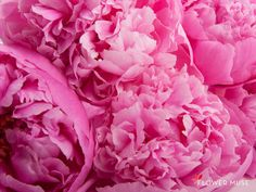 Peonies! Treat your mom to these blooms for Mother's Day and for yourself you can download this image for your desktop or phone wallpaper on the @Flower Muse blog