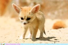 Fennec Fox baby... need one of these!