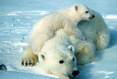 bears - Buscar con Google