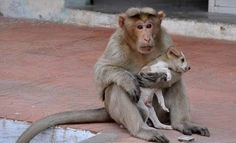 This monkey adopted a stray puppy and protects it from danger