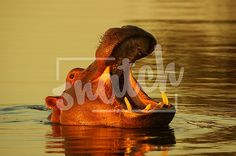 Sunset Hippo in water Animal Photography, Sunset, Pets, Water, Painting, Animals, Gripe Water, Animales, Nature Photography