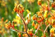 A flower called Kangaroo paw in the Botanic Gardens, Sydney. bright as the sun!
